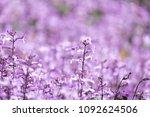 plectranthus mona lavender... | Shutterstock . vector #1092624506