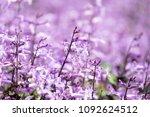 plectranthus mona lavender... | Shutterstock . vector #1092624512