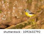 gray wagtail   motacilla cinerea | Shutterstock . vector #1092632792