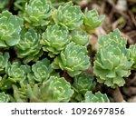 Small photo of Macro photos of Silver Gem Stonecrop (Rhodiola pachyclados). Selective focus