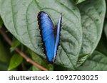 Blue Morpho  Morpho Granadensis ...