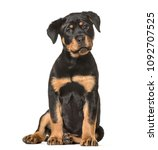 Stock photo rottweiler puppy months old sitting against white background 1092707525