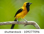 Small photo of Yellow-backed Oriole (Icterus chrysater giraudii), Soberania national park, Panama, Central America
