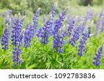 violet lupines flowering in the ... | Shutterstock . vector #1092783836