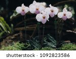 beautiful orchid flower in the... | Shutterstock . vector #1092823586