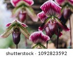 beautiful orchid flower in the... | Shutterstock . vector #1092823592