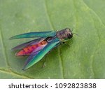 emerald ash borer with open... | Shutterstock . vector #1092823838