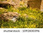 Wild Marmot In Montana Meadow