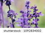 sunset over a violet lavender... | Shutterstock . vector #1092834002