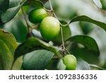 jujube fruits or monkey apple   ... | Shutterstock . vector #1092836336