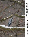 grey heron  ardea cinerea | Shutterstock . vector #1092899636