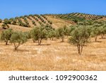 olive grove in the north of... | Shutterstock . vector #1092900362