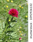 Small photo of Hot pink lavish peony flower on blurry green garden background. Selected focus.