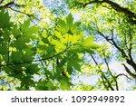 Maple Leaves On Blue Sky...