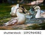 swan goose  anser cygnoides   | Shutterstock . vector #1092964082