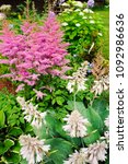 Small photo of colorful blooming astilbe in summer garden in mixed border with hostas