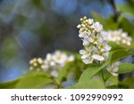 bird cherry flowers close up | Shutterstock . vector #1092990992