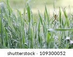 Wasp Spider And Grass With Dew