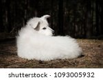 The Puppy Of The White Swiss...