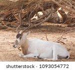 Addax   Addax Nasomaculatus  ...