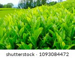 the leaf of the first tea of... | Shutterstock . vector #1093084472