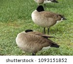 Canada Goose  Canadian Geese I...