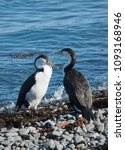 Small photo of Pied shag birds on Mana Island, New Zealand