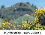 merops apiaster bird stay from... | Shutterstock . vector #1093225856