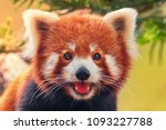 Red Panda  Close Up