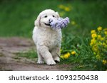 Stock photo adorable golden retriever puppy walking with lilac flower in his mouth 1093250438