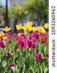 beautiful tulips in a flowerbed ... | Shutterstock . vector #1093260962
