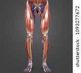 lower limbs muscle anatomy with ... | Shutterstock . vector #1093277672