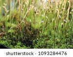 as carnivorous plants ...   Shutterstock . vector #1093284476