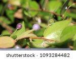 as carnivorous plants ...   Shutterstock . vector #1093284482