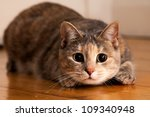 Stock photo tortoiseshell tabby cat prepares to jump onto something she is stalking 109340948