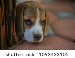 beagle puppies are cute | Shutterstock . vector #1093433105