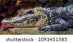 Chinese Alligator. Latin Name ...
