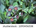 australian dwarf apple ... | Shutterstock . vector #1093456538