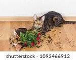 Stock photo domestic cat breed toyger dropped and broke flower pot with red roses and looks guilty concept of 1093466912