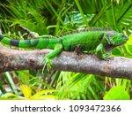 cute green iguana  latin  ... | Shutterstock . vector #1093472366