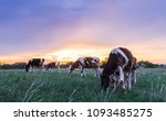 Cows On A Pasture At Sunset