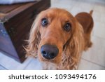 Small photo of Golden Spaniel Dogs