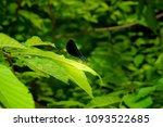 ebony jewelwing perching | Shutterstock . vector #1093522685