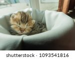 Stock photo cute lazy persian kitten wake up from sleep on white blanket in home 1093541816