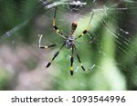 Small photo of one yellow argiope aurantia orb weaver spider in a web part of the Araneidae Araneoidea arachnida arthropoda family. Found at Tradewinds Park Coconut Creek Broward County Florida