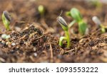 sunflower seedlings sprouting... | Shutterstock . vector #1093553222