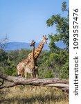 giraffe in kruger national park ...   Shutterstock . vector #1093557476