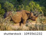 black rhinoceros in kruger... | Shutterstock . vector #1093561232