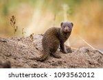 common dwarf mongoose in kruger ... | Shutterstock . vector #1093562012