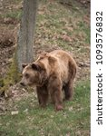 Small photo of Brown bear, Ursus arctos